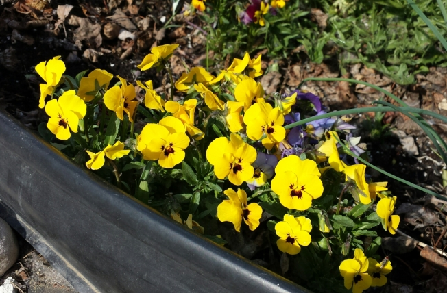 yellow-pansies